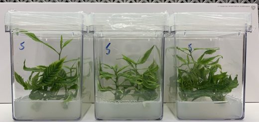 A cultivation technique, called micropropagation, would facilitate the production of cannabis.