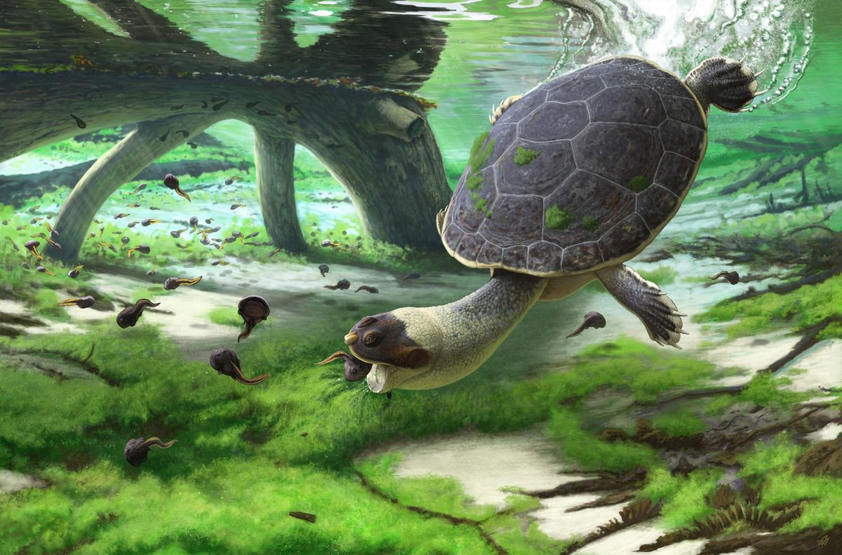 A new pelomedusoid turtle from Madagascar's Late Cretaceous, called Sahonachelys mailakavava, provides evidence of a convergent evolution of suction feeding in pleurodira.
