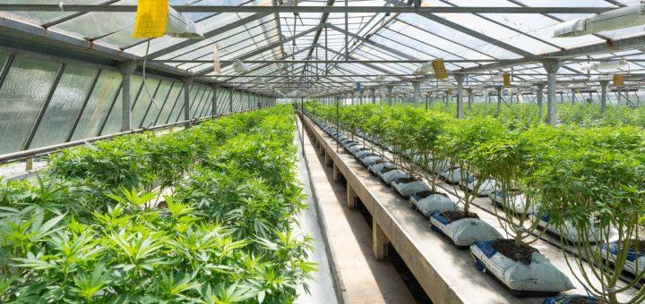 Les chercheurs de l'Université d'État du Colorado fournissent la comptabilité la plus détaillée à ce jour des émissions de gaz à effet de serre de l'industrie du cannabis. Et les résultats font froid dans le dos. La légalisation du cannabis qui est en cours actuellement dans le monde, pourrait faire exploser les émissions de CO2.