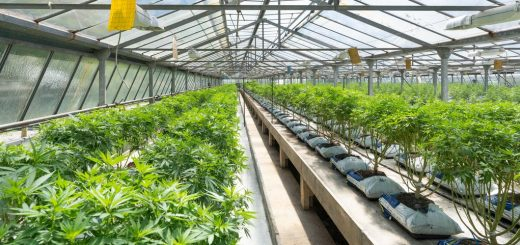 Colorado State University researchers provide the most detailed accounting to date of greenhouse gas emissions from the cannabis industry. And the results are impressive. The legalization of cannabis, which is currently underway in the world, could cause CO2 emissions to explode.