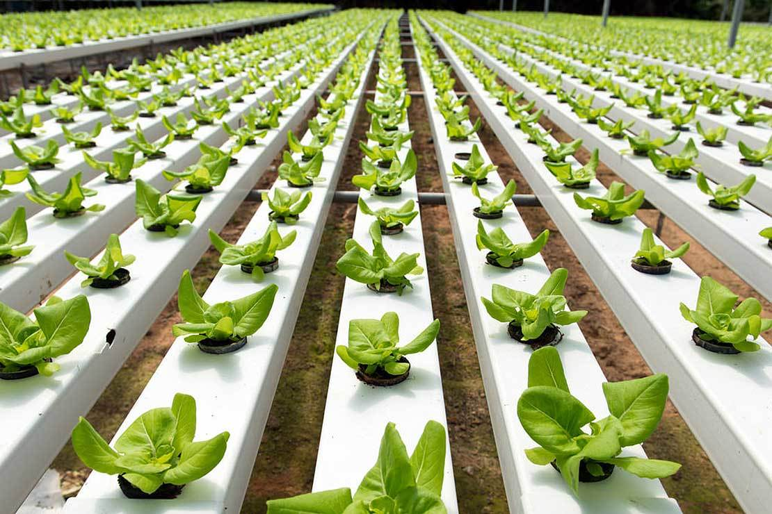 Agri food lettuce