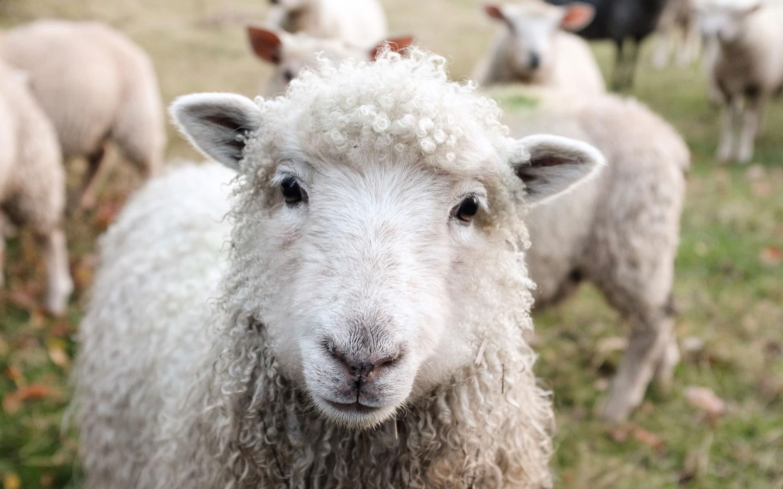Får med ull av hög kvalitet.
