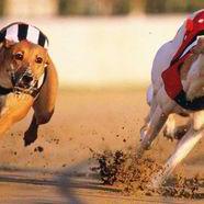 Greyhound racing 432711