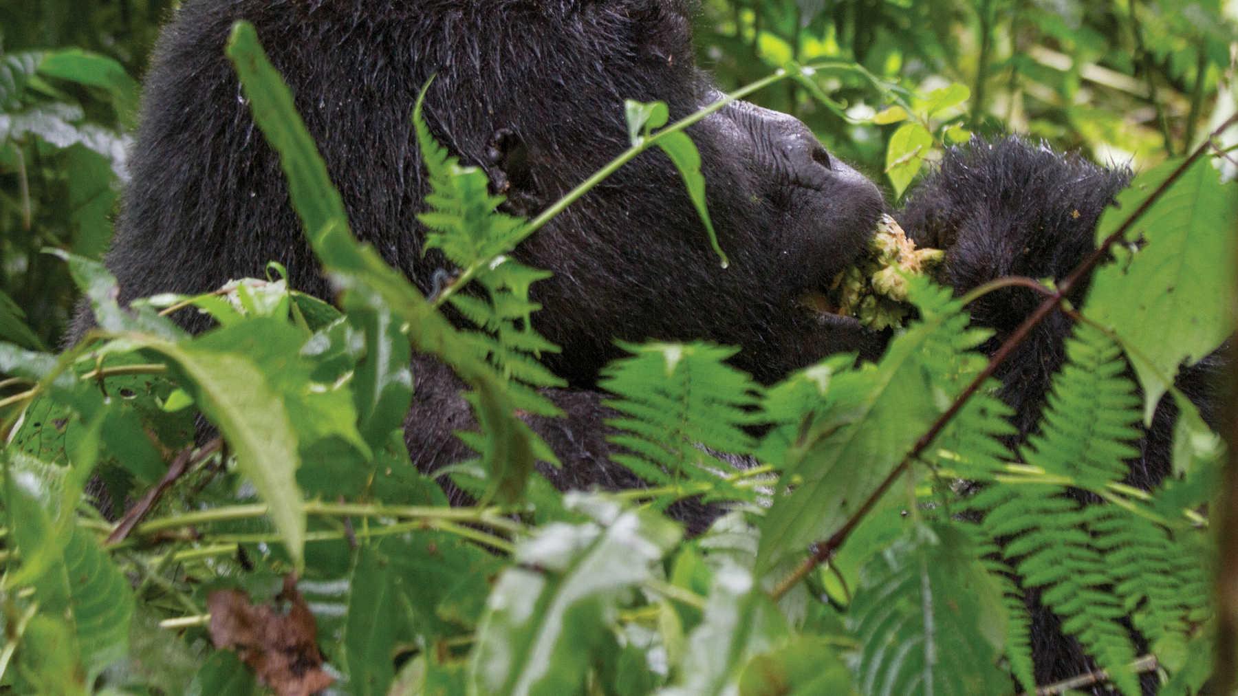 Rwanda & Uganda Gorilla Discovery Rwanda, Uganda, Africa