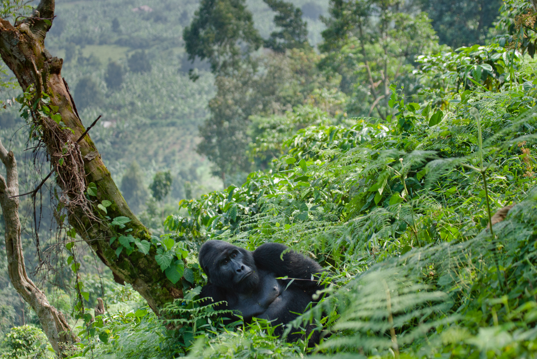 Uganda Gorilla Short Break: Basix Uganda