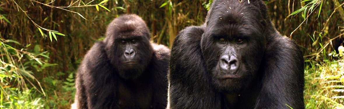 Mountain Gorillas of Rwanda Rwanda, Africa