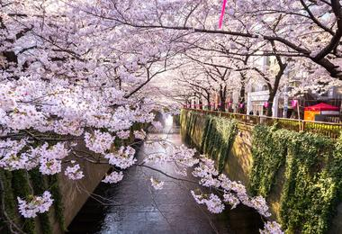 Cherry blossom in Tokyo in Japan