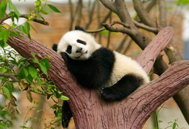 A giant panda relaxes in a tree in Chengdu