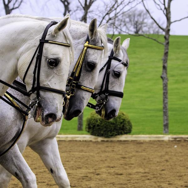 Lipizanner stallions