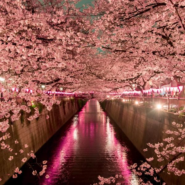 Cherry blossom at night in Tokyo