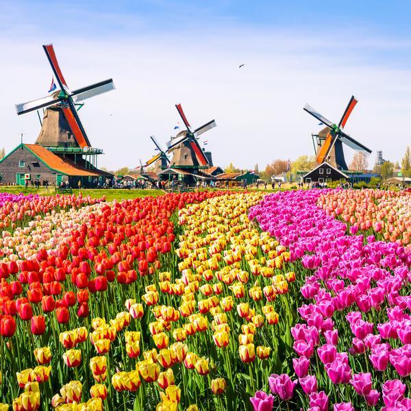 Kinderdijk windmills and flowers