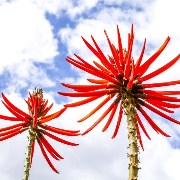 Coral tree, Maderia