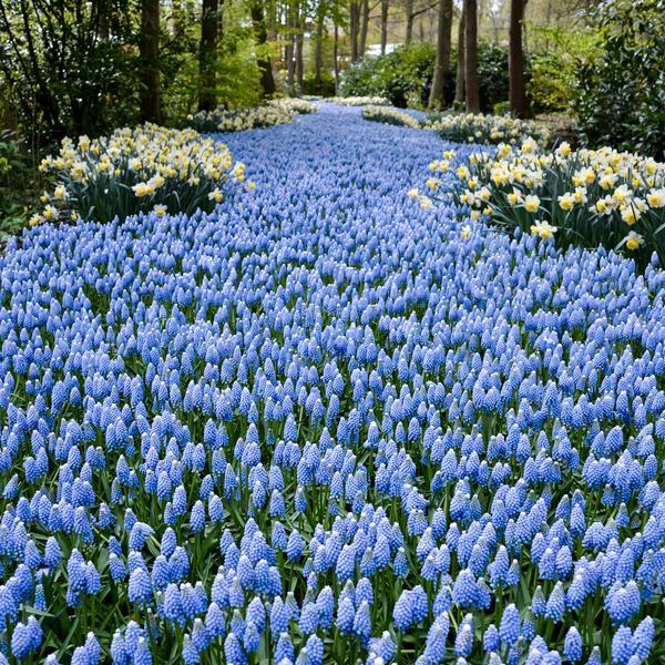 Grape hyacinth in Keukenhof Gardens