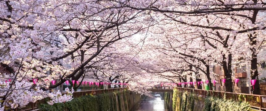 Cherry blossom lining Meguro Canal in Tokyo
