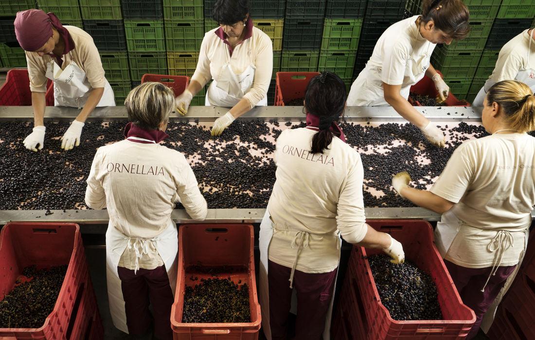 le-volte-dell-ornellaia-sorteringsbord-for-druvor-vinbanken