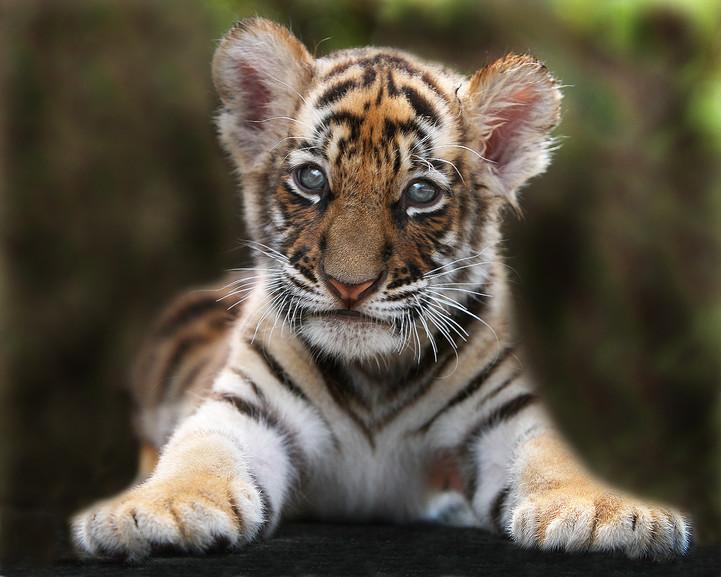 tigerprojekt WWF