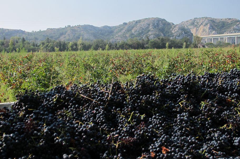 Erica-Landin-harvest-Domaine-Duseigneur-Rhone