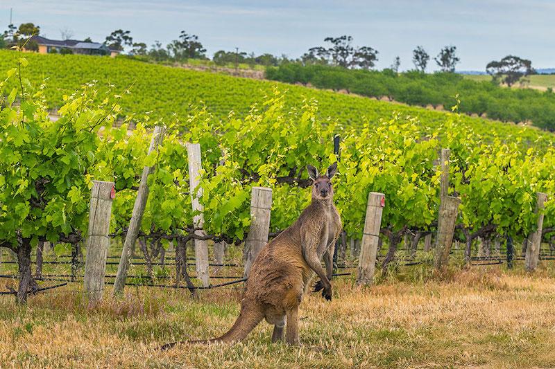 roda-toppviner-fran-australien-vinbanken