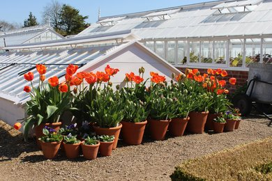 Pots of tulips by the cold frame at West Dean Gardens West Sussex