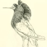 Andrew Fitchett bird drawing