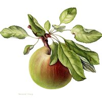 Sandrine Maugy botanical painting harvest from orchard gardens