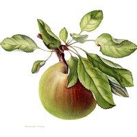 Sandrine Maugy botanical painting harvest from orchard gardens