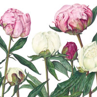 Susan Christopher-Coulson Botanical drawing in coloured pencil – bud burst