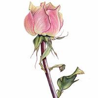 Sandrine Maugy Botanical painting – a rose