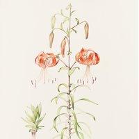 Mariella Baldwin Botanical painting – sensational summer colours