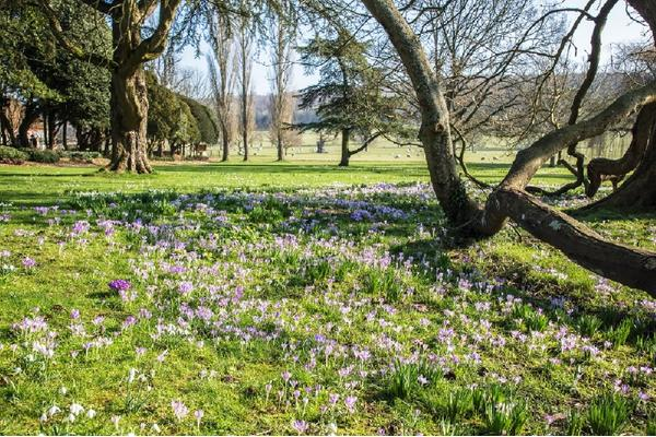 Crocuses on the east lawn at West Dean Gardens