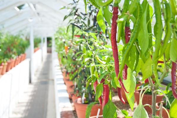 Chillies growing in the Victorian glasshouses