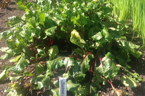 Beetroot growing at West Dean Gardens