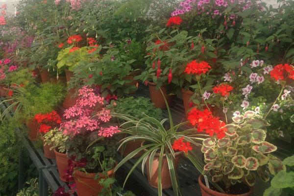 Geraniums at West Dean Gardens