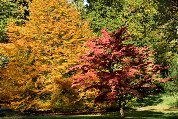 Autumn glory, Cornus Kousa, Chinensis and Fagus, Sylvatica 'Heterophylla' @westdeangardens