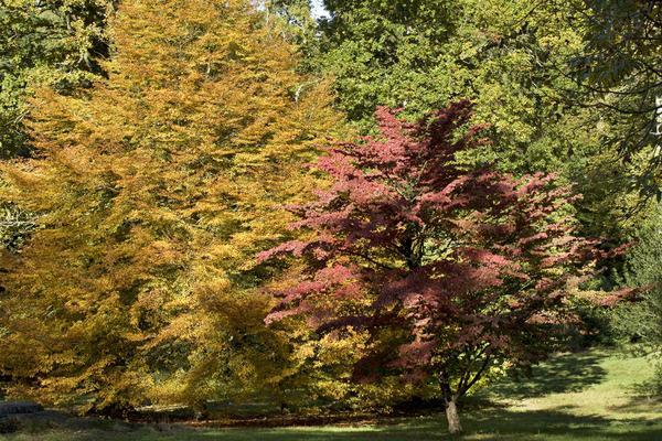 Autumn colour in the gardens – Cornus Kousa Chinensis and Fagus Sylvatica, 'Heterophylla