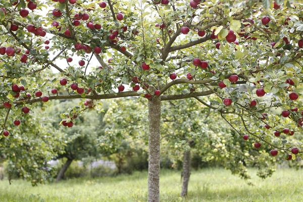 The orchards at West Dean Gardens