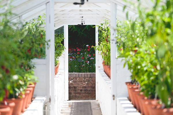 Chilli plants in summer in a Victorian glasshouse @westdeangardens