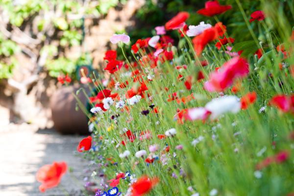 Poppy display at West Dean Gardens