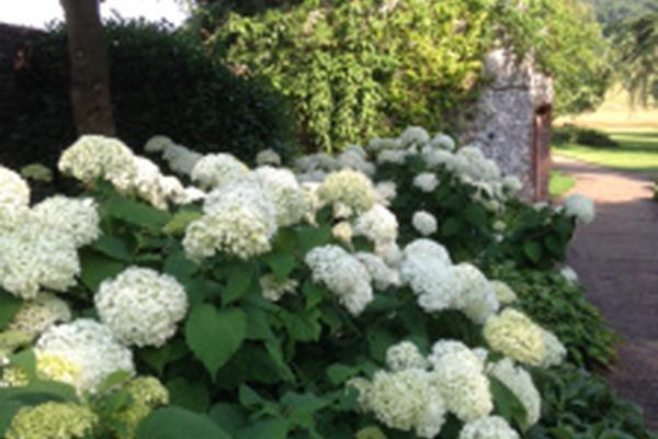 Hydrangeas at West Dean Gardens West Sussex in front of the Apple Store
