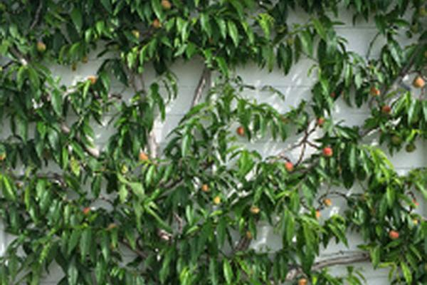 Nectarines at West Dean
