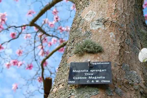 Magnolia sprengeri at West Dean Gardens West Sussex