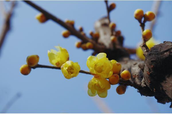Wintersweet blog by Jane Perrone