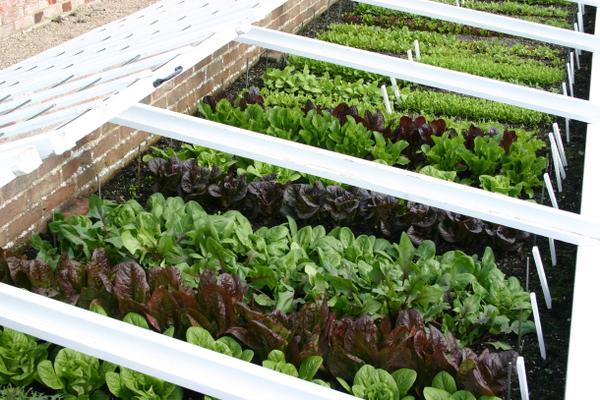 Salad crops at West Dean Gardens