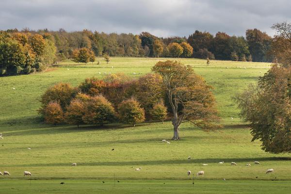 Autumn trees and sheep in November at West Dean Gardens