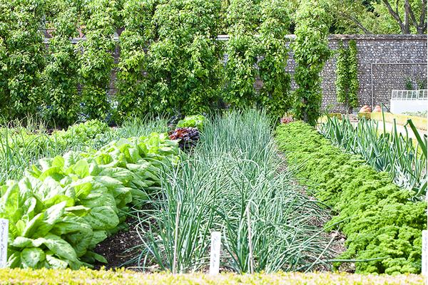 Vegetables And Curly Parsley Growing In The Kitchen Garden
