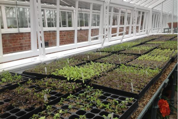 Salad leaves in the glasshouse at West Dean Gardens
