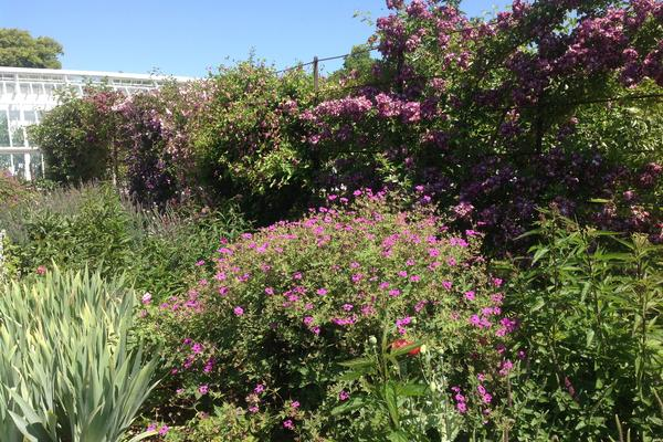 Dreamy shades of purple, mauve, pink and rose in the fruit garden at West Dean