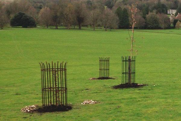 New trees - 5 hornbeams and 5 elm hybrids
