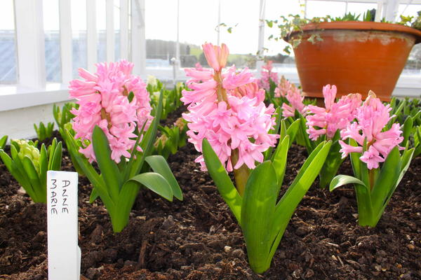 Hyacinth 'Anne Marie' flowering in the glasshouse