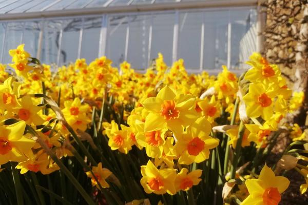 Narcissus 'Falconet' in the Walled Garden at West Dean Gardens